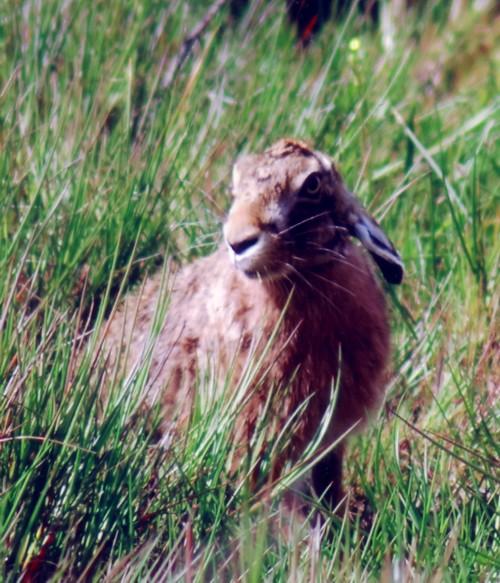 jc-walney-hare-2.jpg