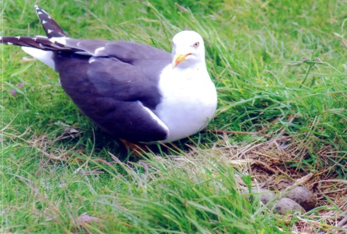 jc-walney-lbb-gull.jpg