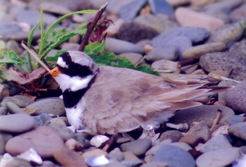 jc-walney-ringed-plover.jpg