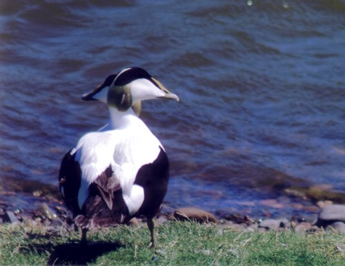 jc-walney-two-headed-eider.jpg