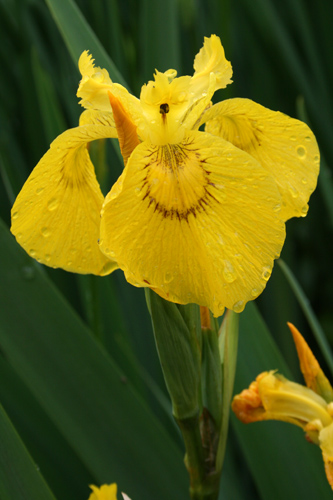 mna-flag-iris.jpg