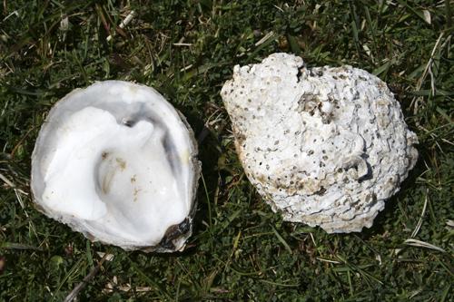 mna-oysters1.jpg