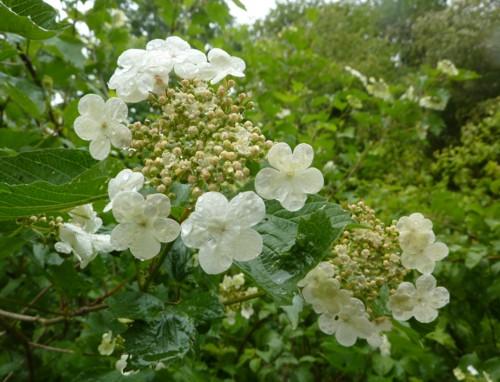 orrell-wp-guelder-rose.jpg