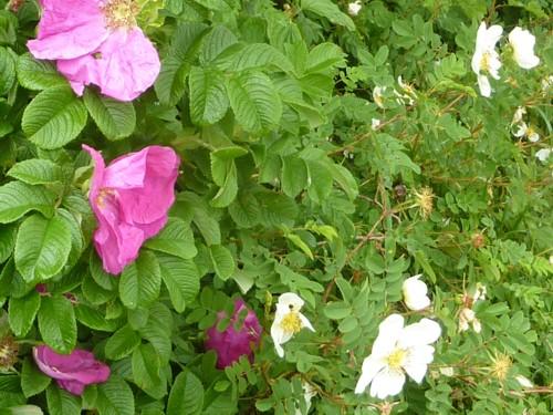 orrell-wp-roses.jpg