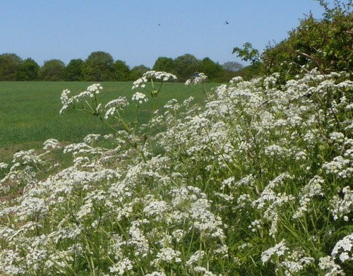 thornton-hough-cow-parsley.jpg