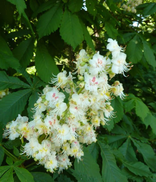 thornton-hough-horse-chestnut.jpg
