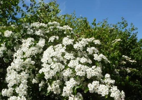 thornton-hough-may-blossom.jpg
