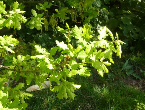 thornton-hough-oak-leaves.jpg