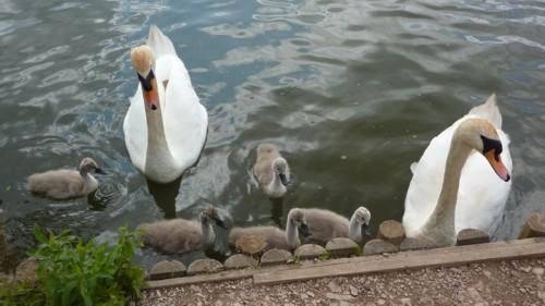 longton-swan-family.jpg