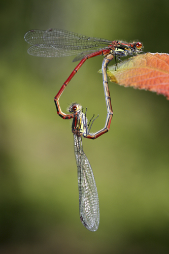 mna-haybridge-large-red-damselfly2.jpg