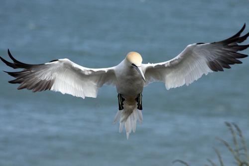 mna-landing-gannet1.jpg