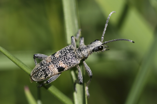 mna-longhorn-beetle-rhagium-mordax1.jpg