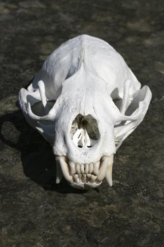 mna-otter-skull1.jpg