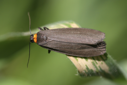 mna-red-footed-footman1.jpg