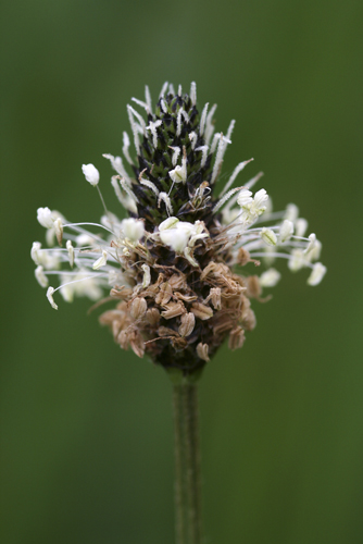 mna-ribwort-plantain1.jpg
