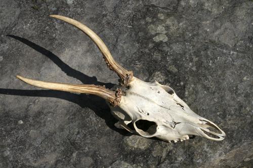 mna-roe-deer-buck-skull1.jpg