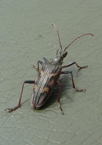 mna-stocks-longhorn-beetle.jpg