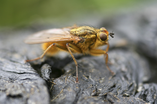 mna-yellow-dung-fly1.jpg