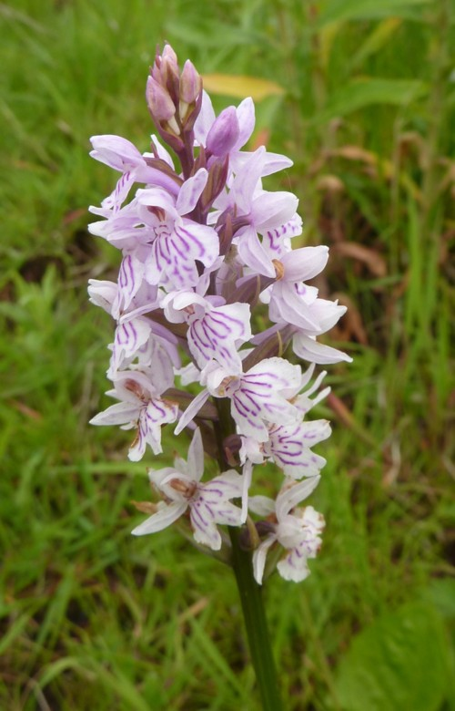 roby-orchid-3.jpg