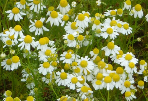 roby-scented-mayweed.jpg