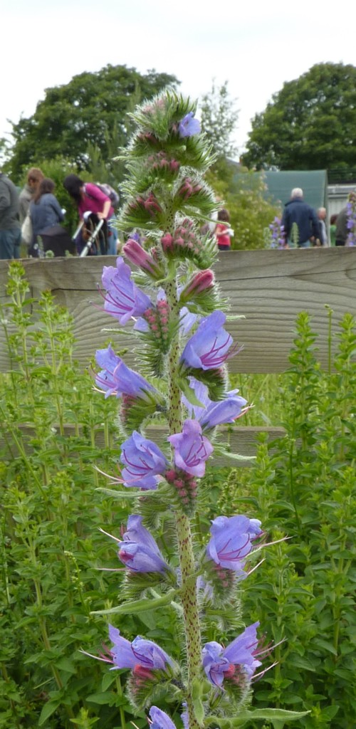 roby-vipers-bugloss.jpg