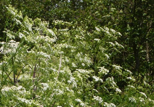 sefton-meadows-hemlock-maybe.jpg