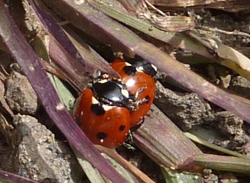 sefton-meadows-ladybirds.jpg