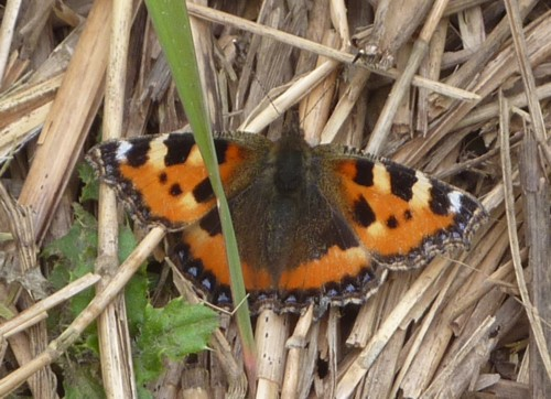 sefton-meadows-small-tortoiseshell.jpg