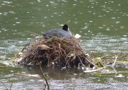 taylor-park-coot-on-nest.jpg