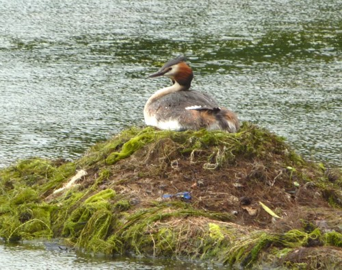 taylor-park-gc-grebe-on-nest.jpg
