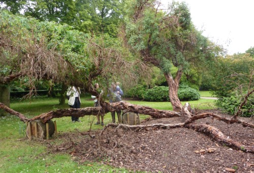 calderstones-collapsed-tree.jpg