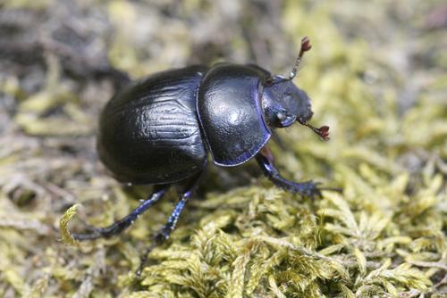 mna-llafar-valley-beetle1.jpg