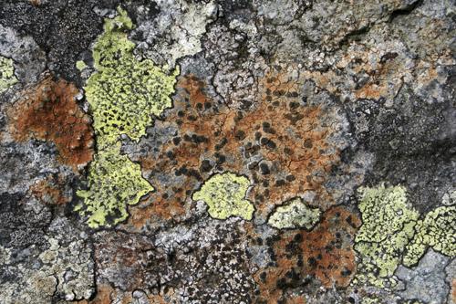 mna-llafar-valley-lichen1.jpg