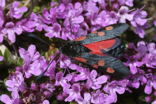 mna-minera-burnet-moth1.jpg