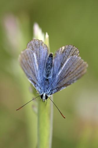 mna-minera-common-blue1.jpg
