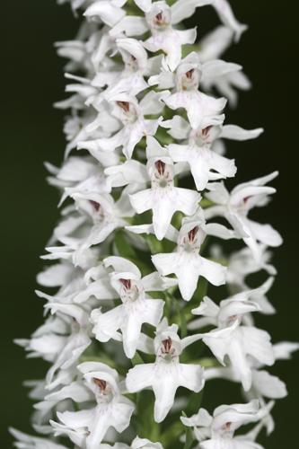 mna-minera-cs-orchid-white1.jpg