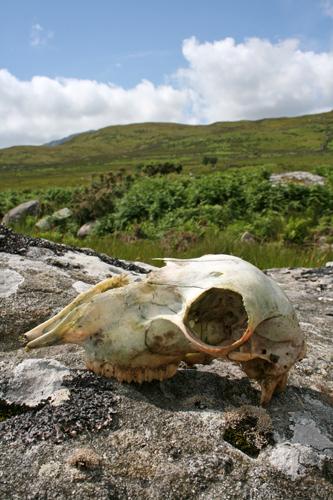 mna-sheep-skull.jpg
