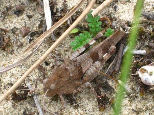 dave-bond-blue-winged-grasshopper-netherlands.jpg