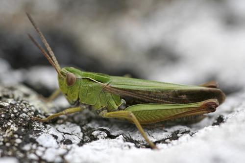 mna-llafar-valley-grasshopper1.jpg