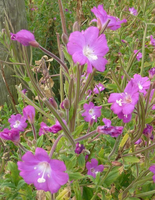 neston-giant-willowherb.jpg
