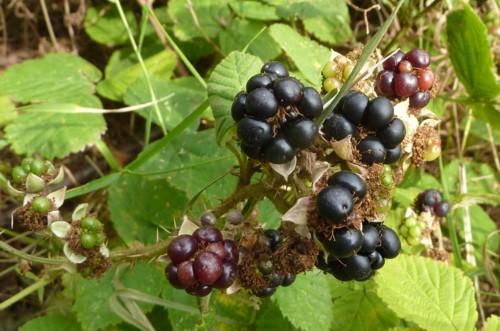 pickering-blackberry.jpg