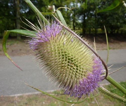 pickering-teasel.jpg