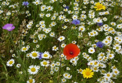 pickering-wildflowers.jpg