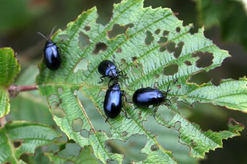 mna-alder-beetle1.jpg