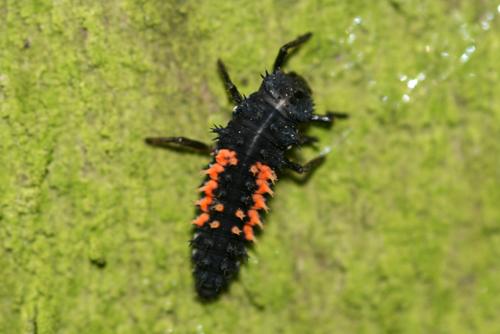 mna-harlequin-larvae1.jpg