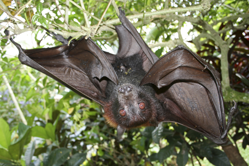 mna-indonesia-fruit-bat3.jpg