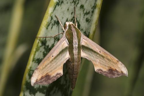 mna-indonesia-hawk-moth1.jpg