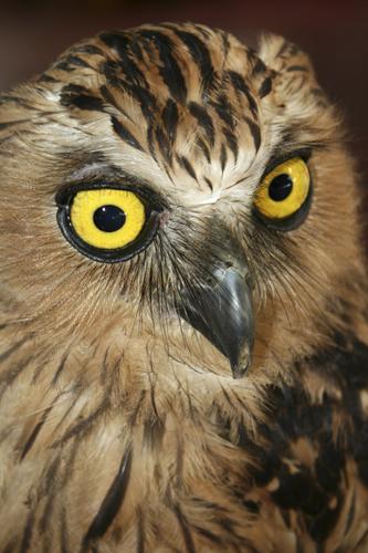 mna-indonesia-owl1.jpg