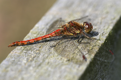 mna-old-moor-common-darter2.jpg