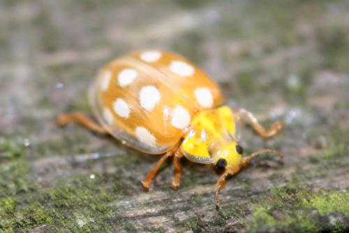 mna-orange-ladybird1.jpg